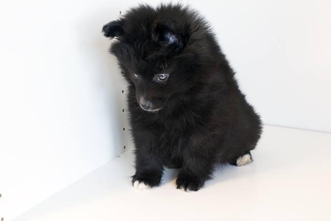 Meet Bella the Pomeranian
